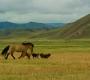 Amarbayasgalant Monastery - Running Horse