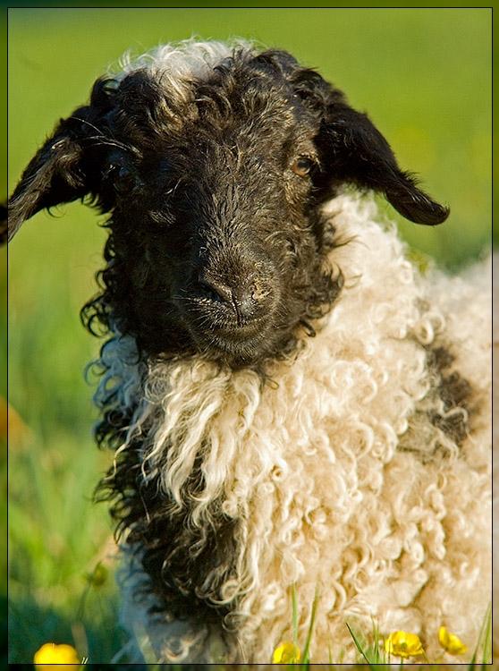 Bulgan  - Mouton